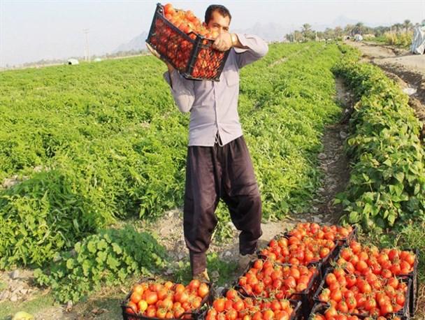 به داد گوجهکاران لیشتر برسید/دلالانی که فریاد کشاورزان را به آسمان رساندهاند+فیلم