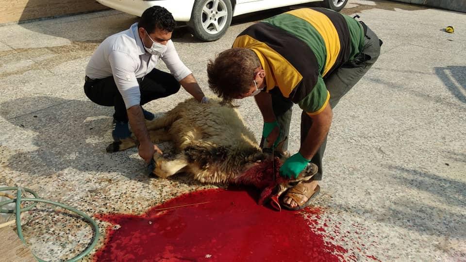 حضور موسسه دارالمهدی(عج) گچساران در رزمایش مومنانه/قربانی کردن گوسفند به نیت سلامتی امام زمان(عج)+تصاویر